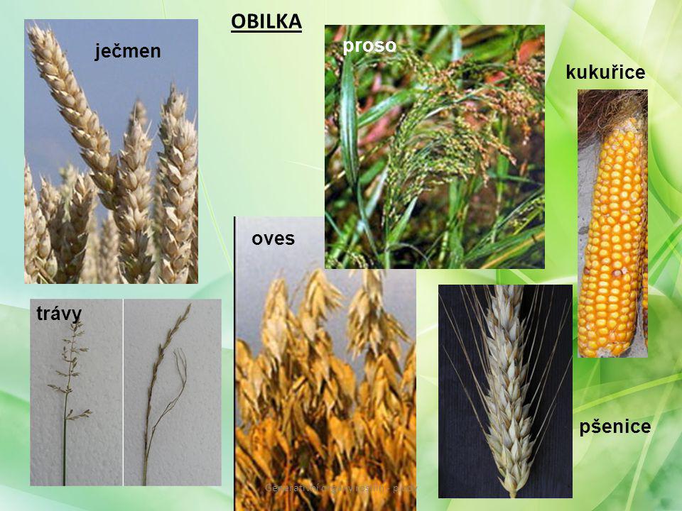 OBILKA ječmen oves kukuřice proso trávy pšenice Generativní orgány rostlin - plody