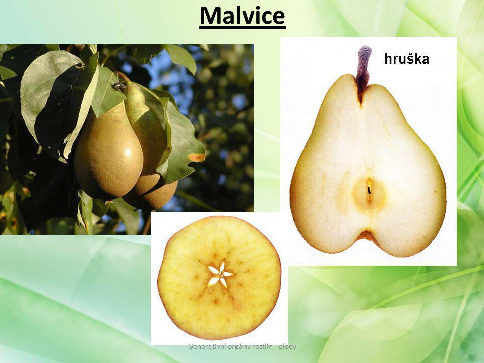 Malvice hruška Generativní orgány rostlin - plody
