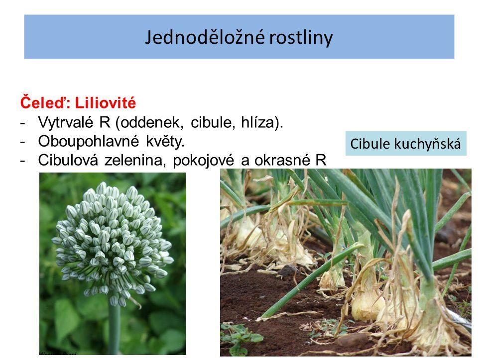 Jednoděložné rostliny Čeleď: Liliovité -Vytrvalé R (oddenek, cibule, hlíza). -Oboupohlavné květy. -Cibulová zelenina, pokojové a okrasné R Cibule kuch