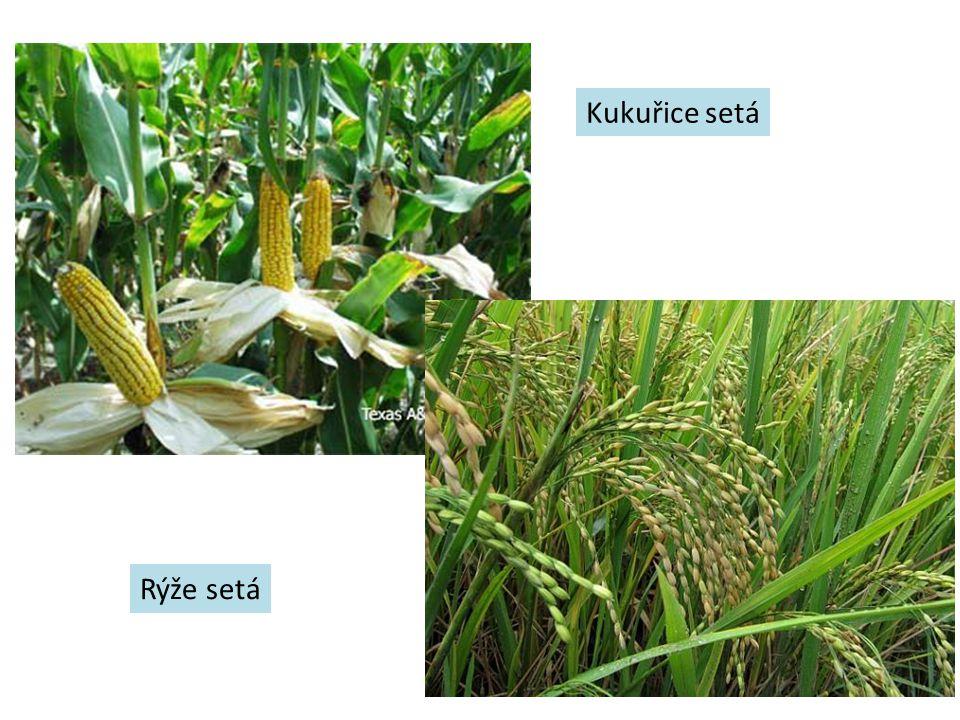Kukuřice setá Rýže setá
