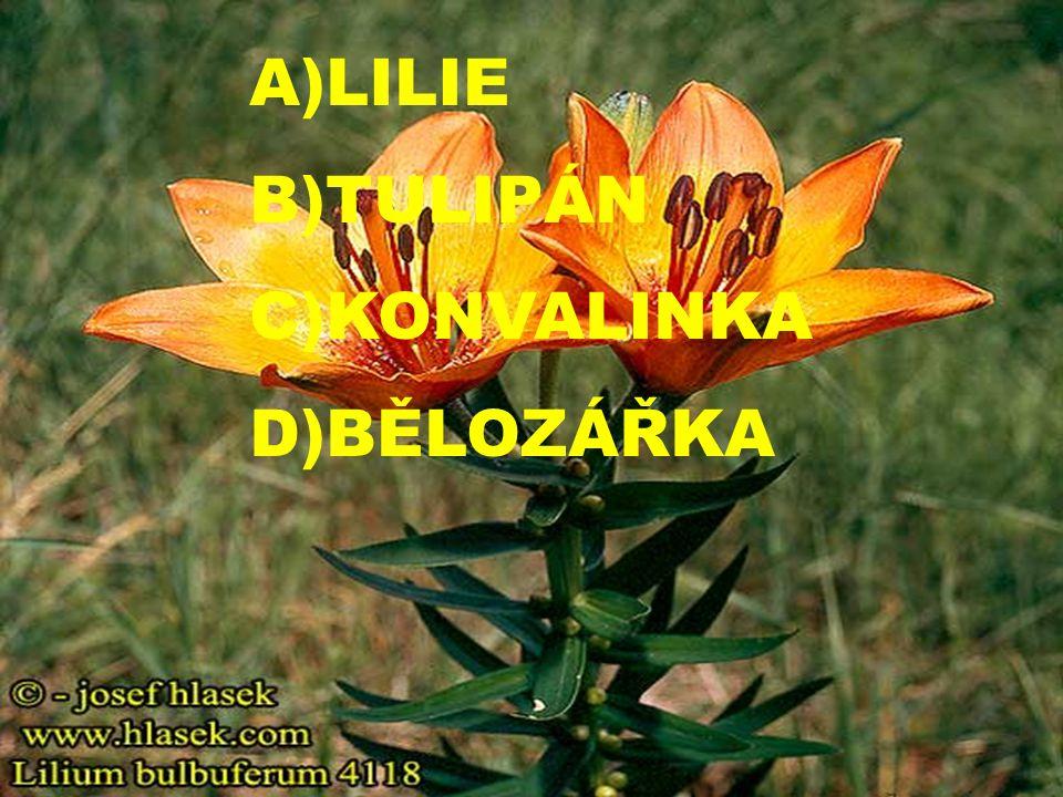A)LILIE B)TULIPÁN C)KONVALINKA D)BĚLOZÁŘKA
