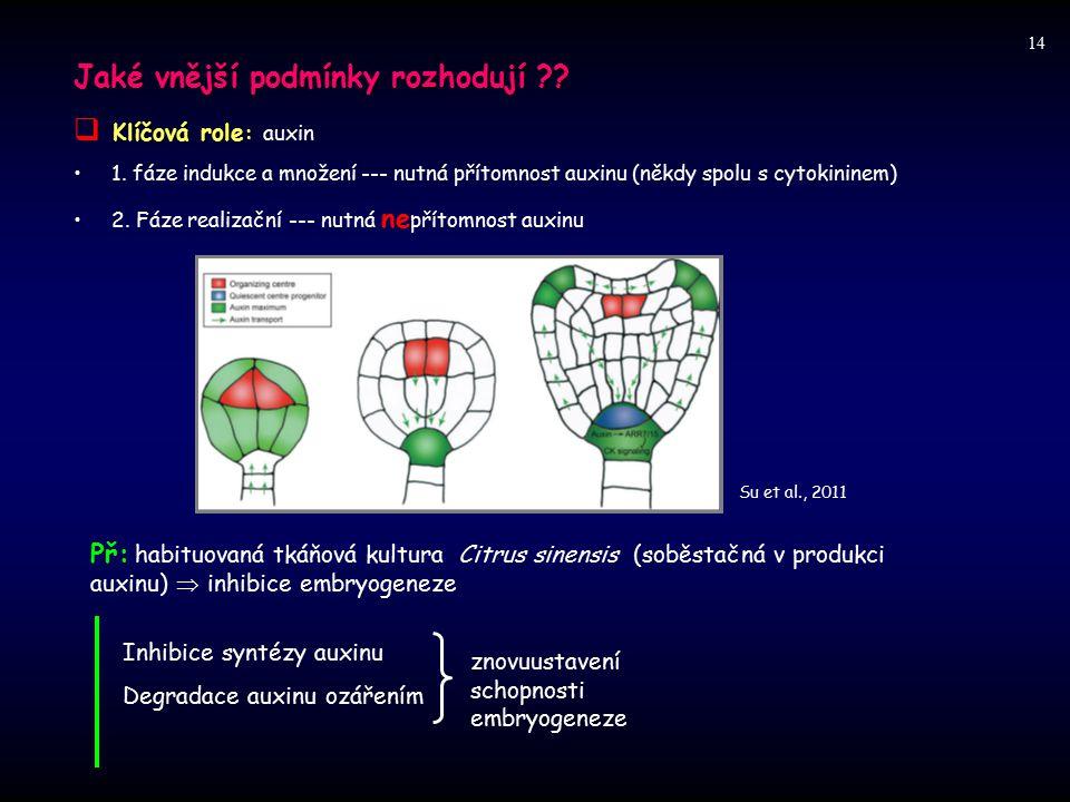 Jaké vnější podmínky rozhodují ?? Klíčová role  Klíčová role : auxin 1. fáze indukce a množení --- nutná přítomnost auxinu (někdy spolu s cytokininem