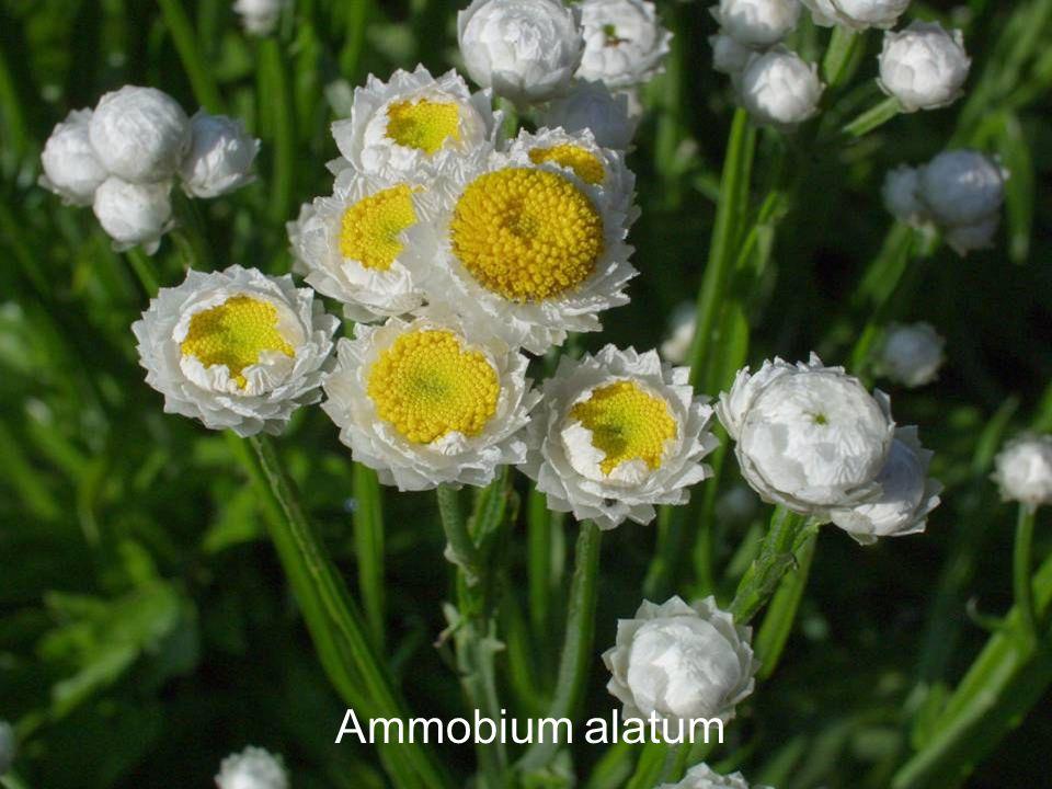 Ammobium alatum