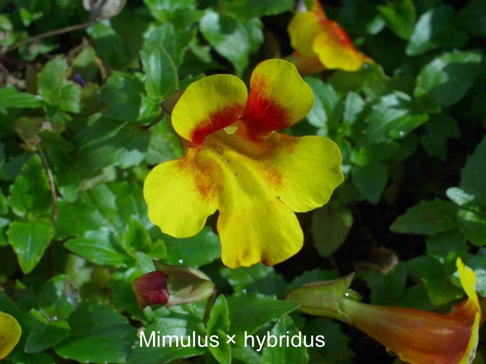 Mimulus × hybridus