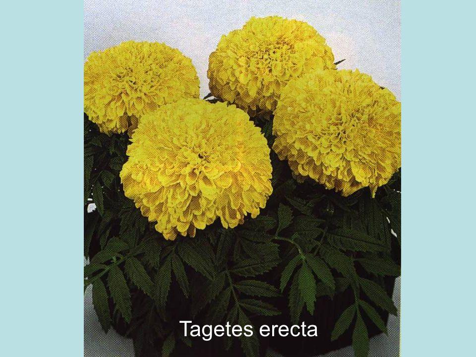 Tagetes erecta