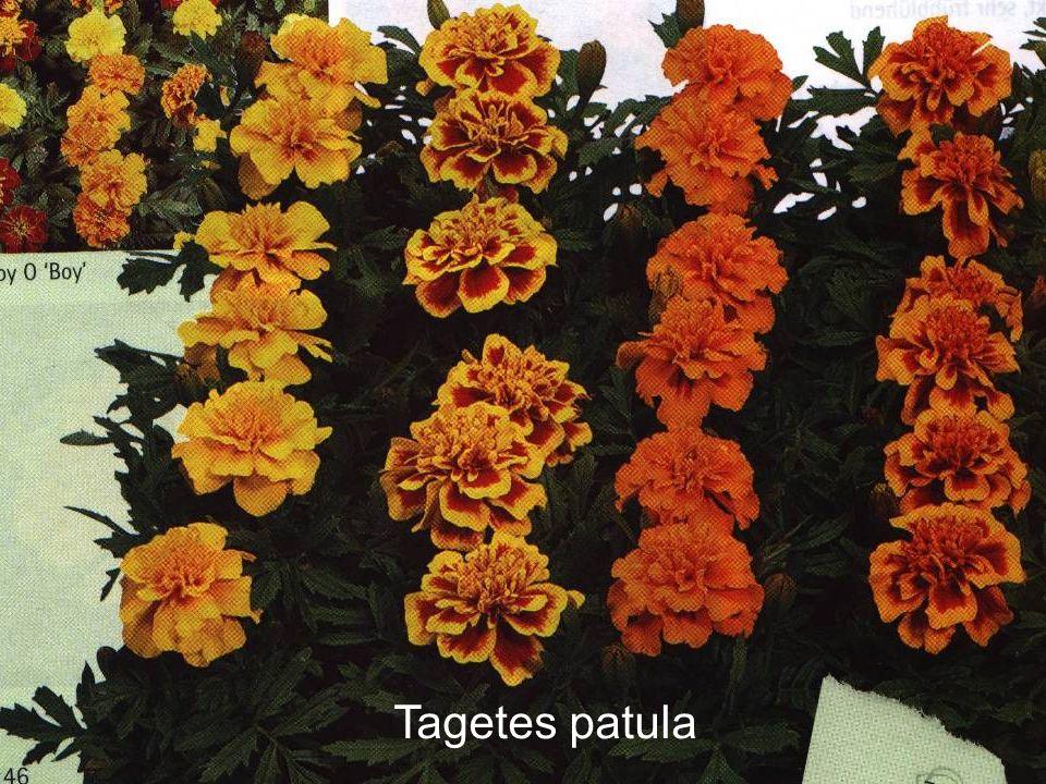 Tagetes patula