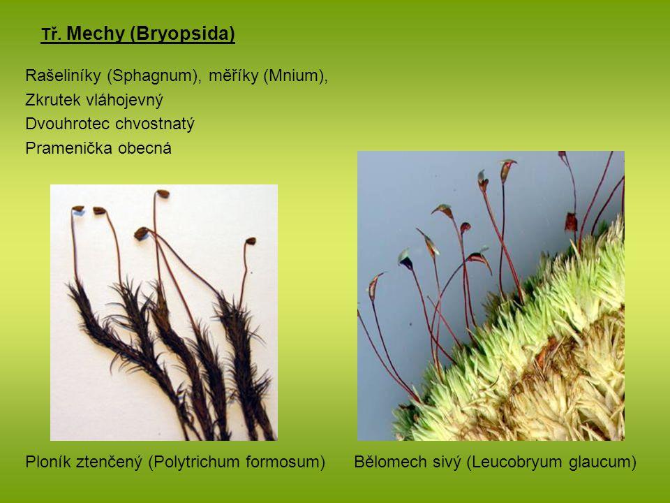 Tř. Mechy (Bryopsida) Rašeliníky (Sphagnum), měříky (Mnium), Zkrutek vláhojevný Dvouhrotec chvostnatý Pramenička obecná Ploník ztenčený (Polytrichum f