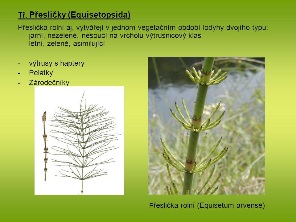 Tř. Přesličky (Equisetopsida) Přeslička rolní aj. vytvářejí v jednom vegetačním období lodyhy dvojího typu: jarní, nezelené, nesoucí na vrcholu výtrus
