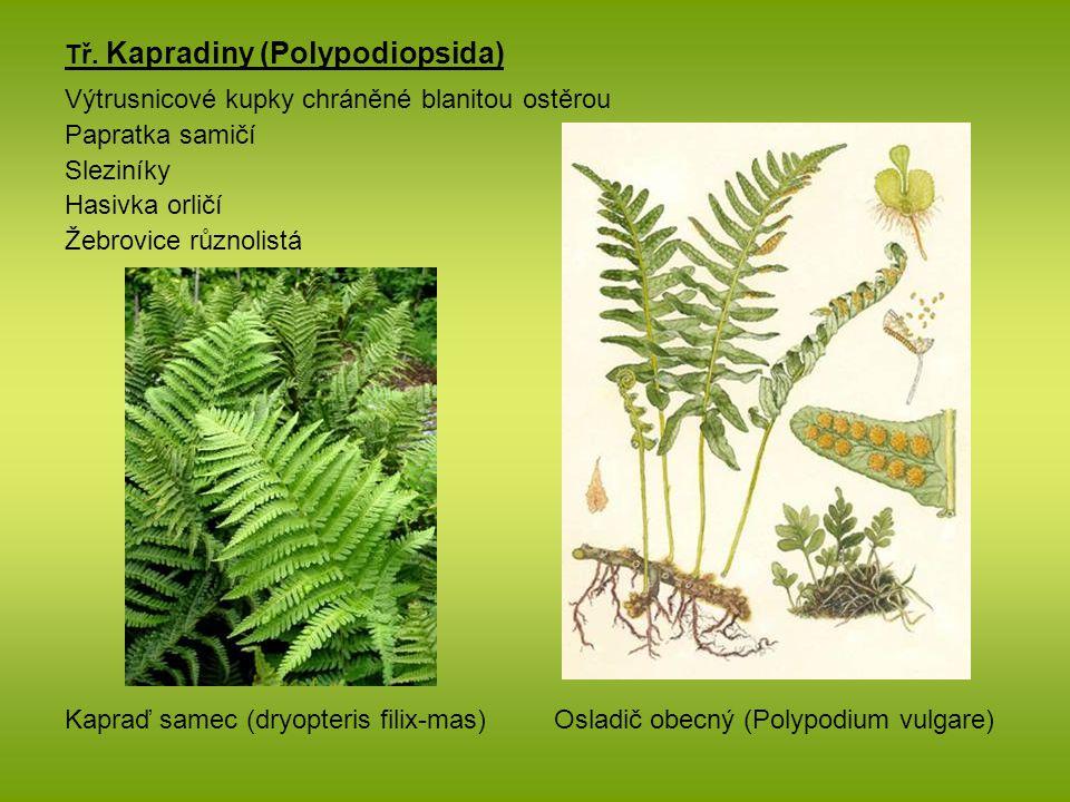 Tř. Kapradiny (Polypodiopsida) Výtrusnicové kupky chráněné blanitou ostěrou Papratka samičí Sleziníky Hasivka orličí Žebrovice různolistá Kapraď samec