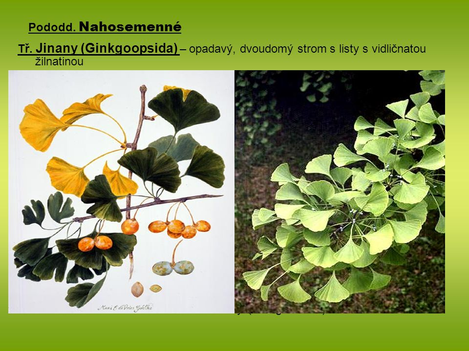 Pododd. Nahosemenné Tř. Jinany (Ginkgoopsida) – opadavý, dvoudomý strom s listy s vidličnatou žilnatinou Jinan dvoulaločný (Ginkgo biloba)