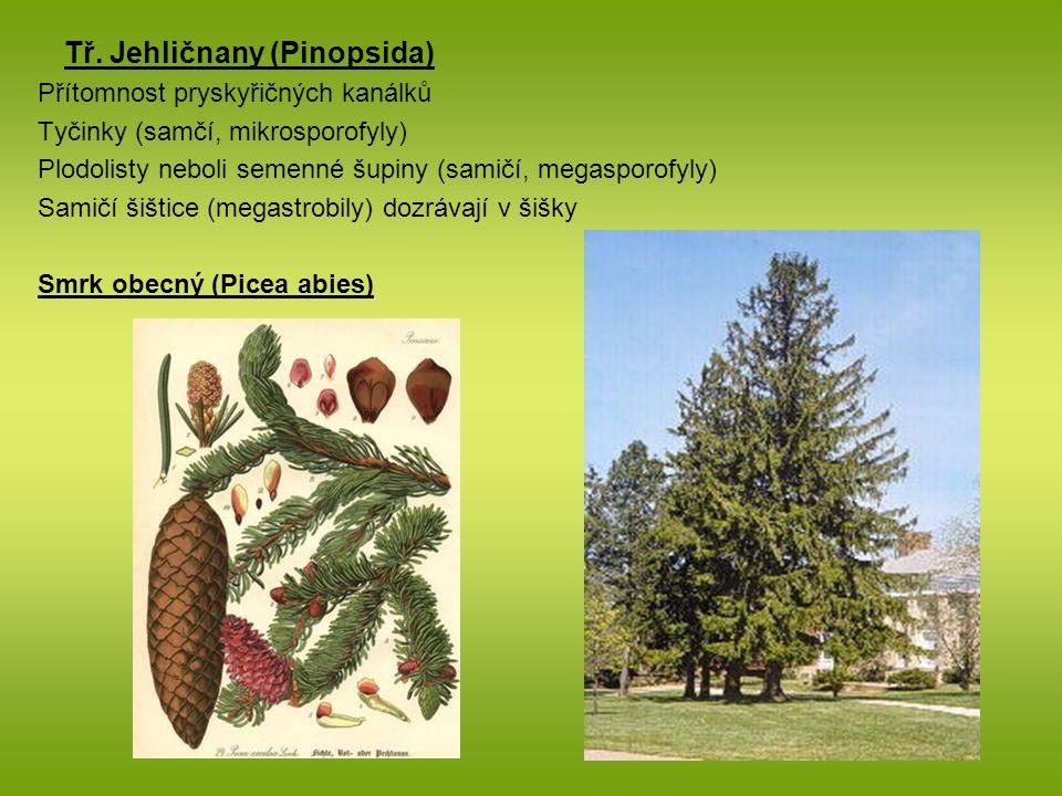 Tř. Jehličnany (Pinopsida) Přítomnost pryskyřičných kanálků Tyčinky (samčí, mikrosporofyly) Plodolisty neboli semenné šupiny (samičí, megasporofyly) S