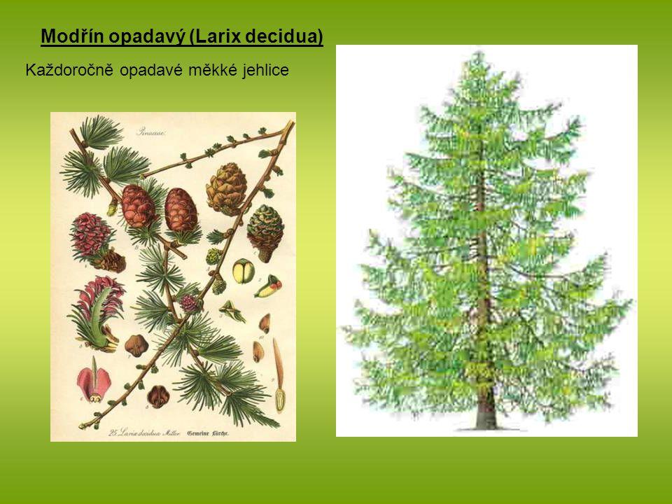Modřín opadavý (Larix decidua) Každoročně opadavé měkké jehlice