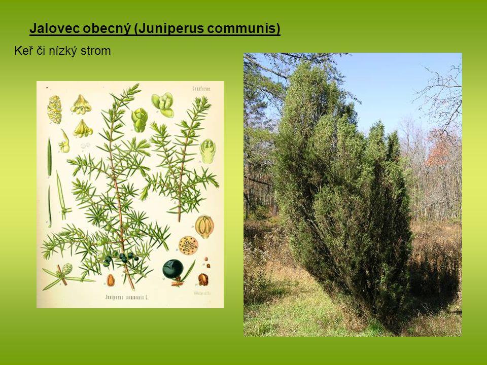 Jalovec obecný (Juniperus communis) Keř či nízký strom