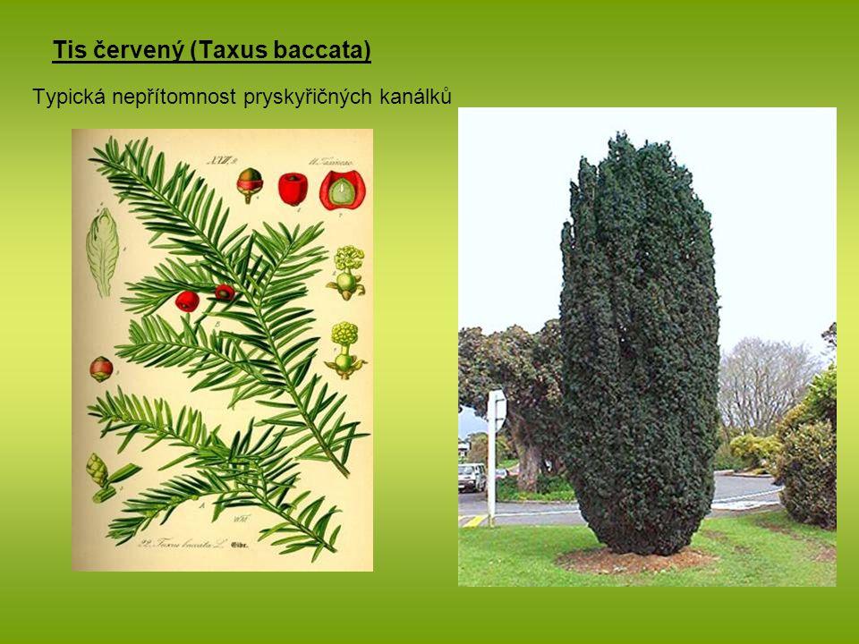 Tis červený (Taxus baccata) Typická nepřítomnost pryskyřičných kanálků