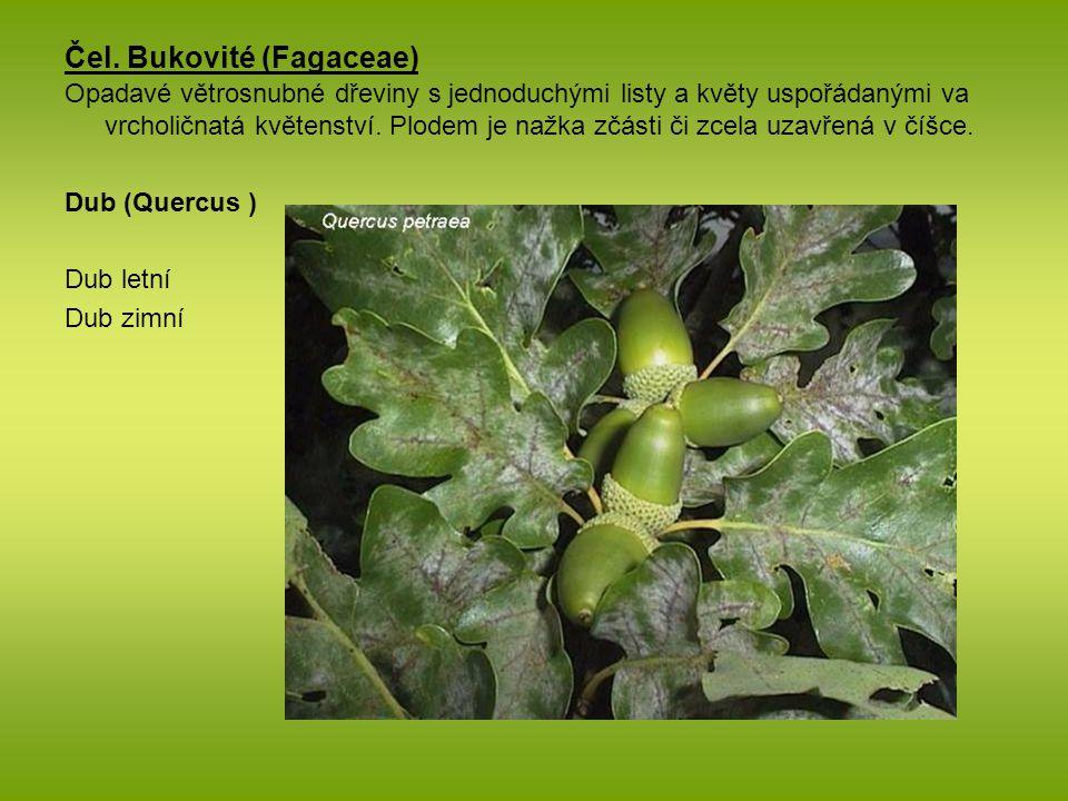 Čel. Bukovité (Fagaceae) Opadavé větrosnubné dřeviny s jednoduchými listy a květy uspořádanými va vrcholičnatá květenství. Plodem je nažka zčásti či z
