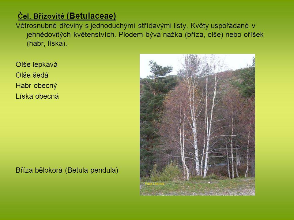Čel. Břízovité (Betulaceae) Větrosnubné dřeviny s jednoduchými střídavými listy. Květy uspořádané v jehnědovitých květenstvích. Plodem bývá nažka (bří