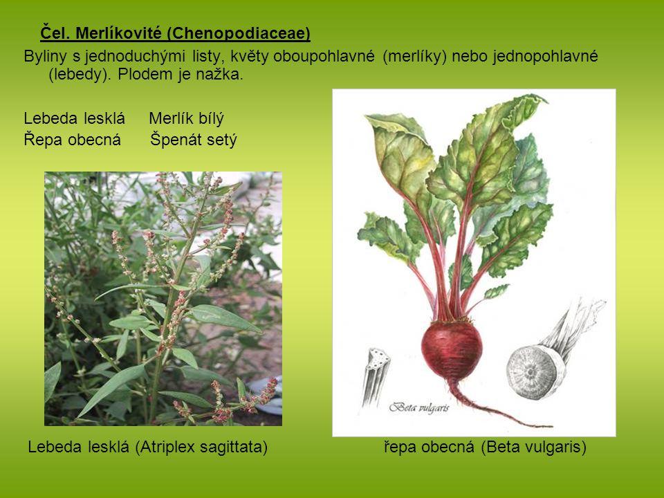 Čel. Merlíkovité (Chenopodiaceae) Byliny s jednoduchými listy, květy oboupohlavné (merlíky) nebo jednopohlavné (lebedy). Plodem je nažka. Lebeda leskl