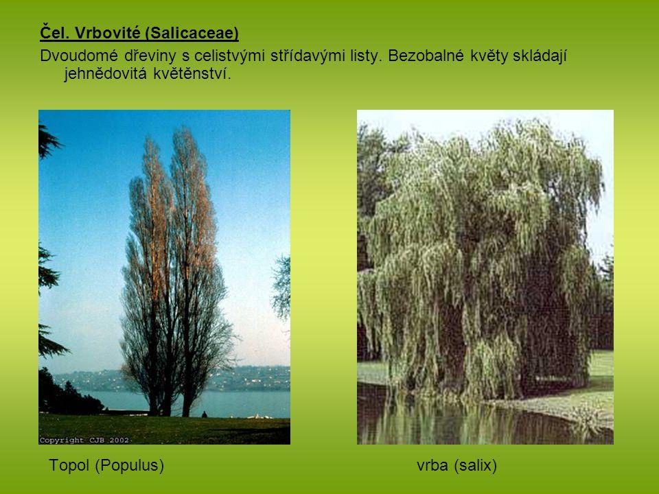 Čel. Vrbovité (Salicaceae) Dvoudomé dřeviny s celistvými střídavými listy. Bezobalné květy skládají jehnědovitá květěnství. Topol (Populus) vrba (sali