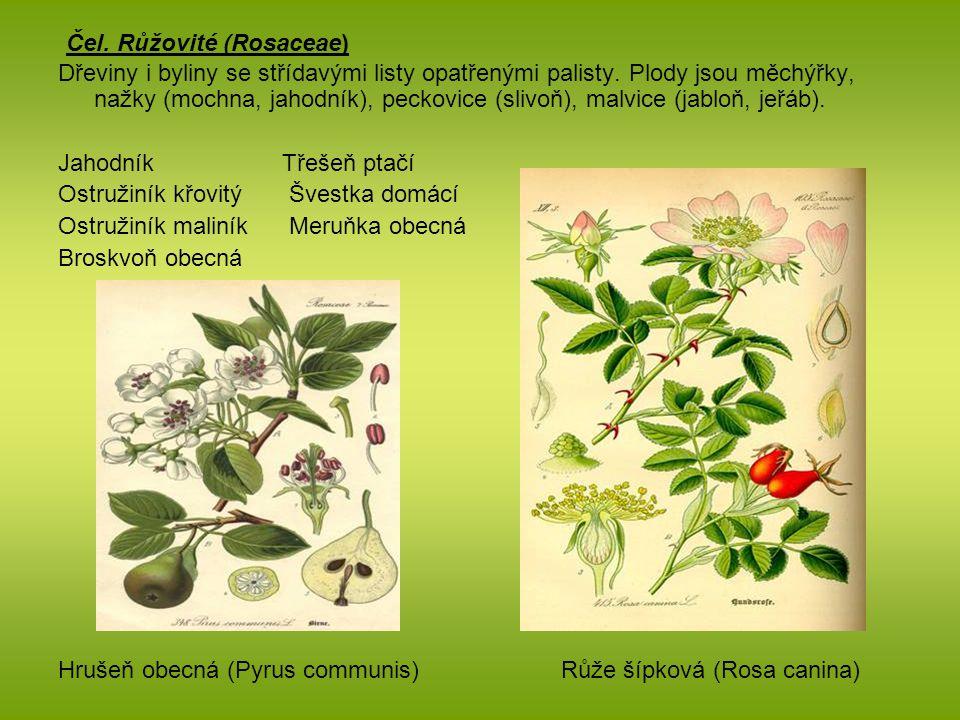 Čel. Růžovité (Rosaceae) Dřeviny i byliny se střídavými listy opatřenými palisty. Plody jsou měchýřky, nažky (mochna, jahodník), peckovice (slivoň), m