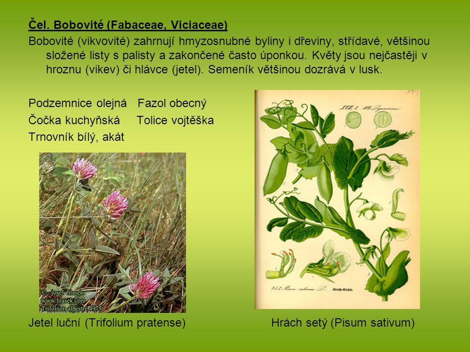 Čel. Bobovité (Fabaceae, Viciaceae) Bobovité (vikvovité) zahrnují hmyzosnubné byliny i dřeviny, střídavé, většinou složené listy s palisty a zakončené