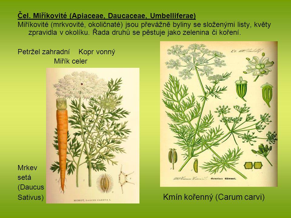 Čel. Miříkovité (Apiaceae, Daucaceae, Umbelliferae) Miříkovité (mrkvovité, okoličnaté) jsou převážně byliny se složenými listy, květy zpravidla v okol