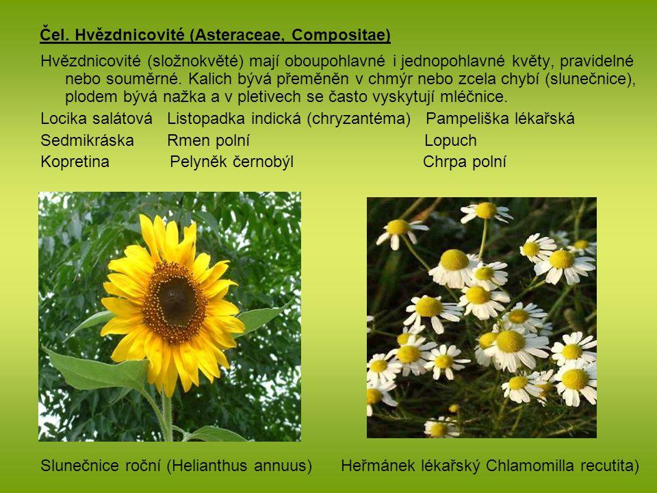 Čel. Hvězdnicovité (Asteraceae, Compositae) Hvězdnicovité (složnokvěté) mají oboupohlavné i jednopohlavné květy, pravidelné nebo souměrné. Kalich bývá