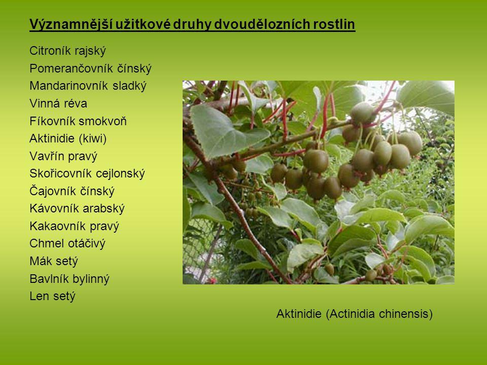 Významnější užitkové druhy dvoudělozních rostlin Citroník rajský Pomerančovník čínský Mandarinovník sladký Vinná réva Fíkovník smokvoň Aktinidie (kiwi