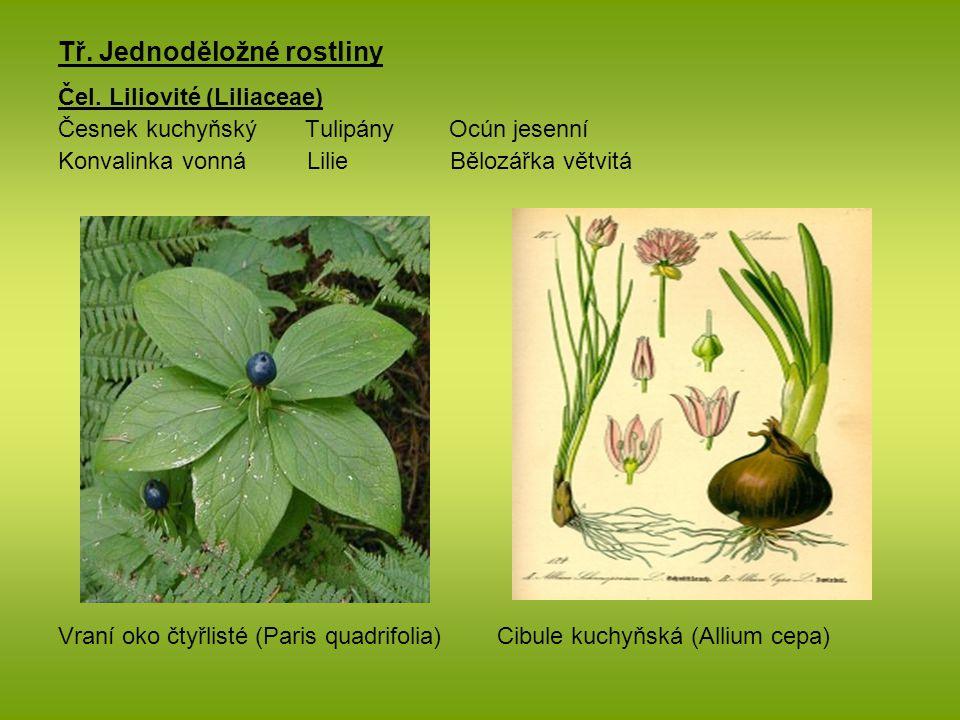 Tř. Jednoděložné rostliny Čel. Liliovité (Liliaceae) Česnek kuchyňský Tulipány Ocún jesenní Konvalinka vonná Lilie Bělozářka větvitá Vraní oko čtyřlis