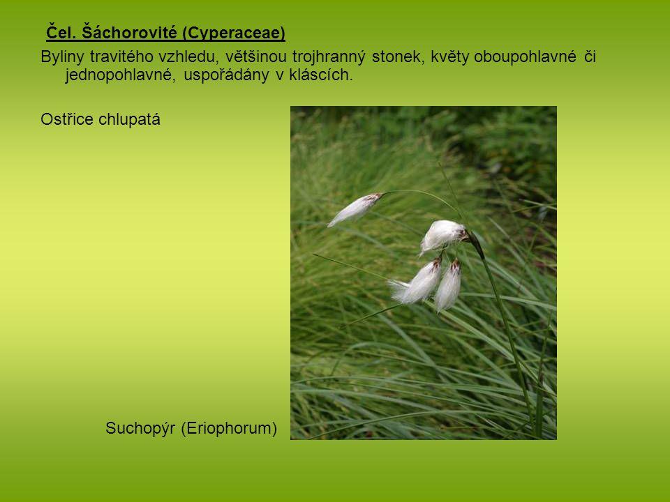 Čel. Šáchorovité (Cyperaceae) Byliny travitého vzhledu, většinou trojhranný stonek, květy oboupohlavné či jednopohlavné, uspořádány v kláscích. Ostřic