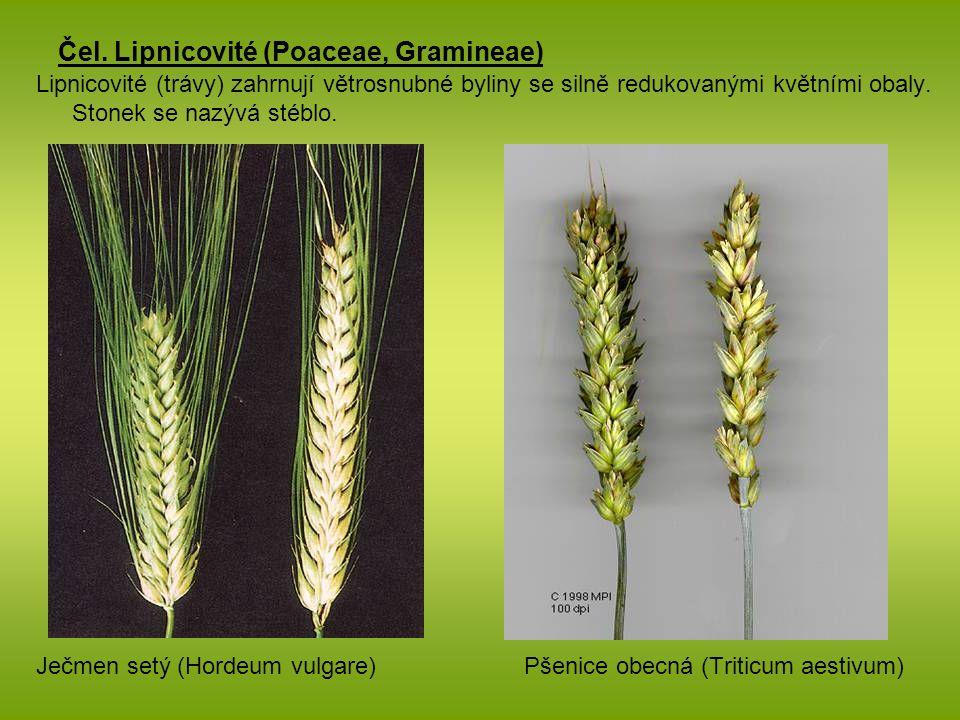 Čel. Lipnicovité (Poaceae, Gramineae) Lipnicovité (trávy) zahrnují větrosnubné byliny se silně redukovanými květními obaly. Stonek se nazývá stéblo. J