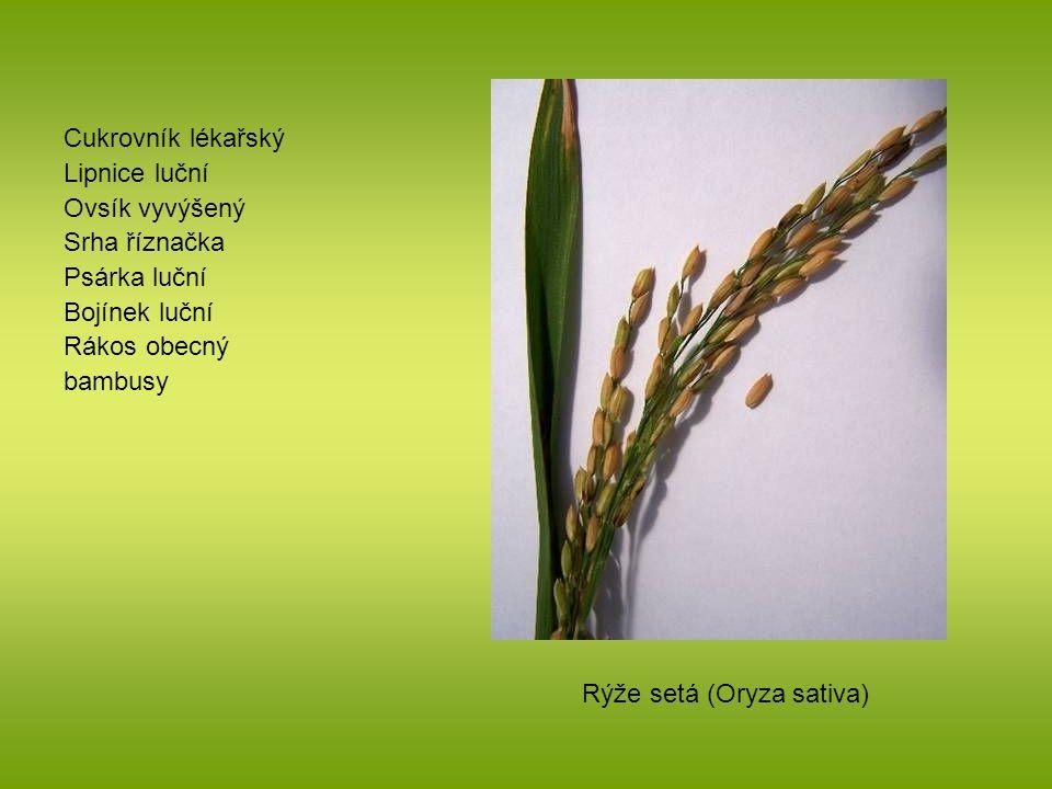 Cukrovník lékařský Lipnice luční Ovsík vyvýšený Srha říznačka Psárka luční Bojínek luční Rákos obecný bambusy Rýže setá (Oryza sativa)