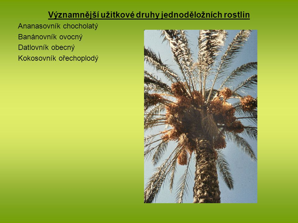 Významnější užitkové druhy jednoděložních rostlin Ananasovník chocholatý Banánovník ovocný Datlovník obecný Kokosovník ořechoplodý
