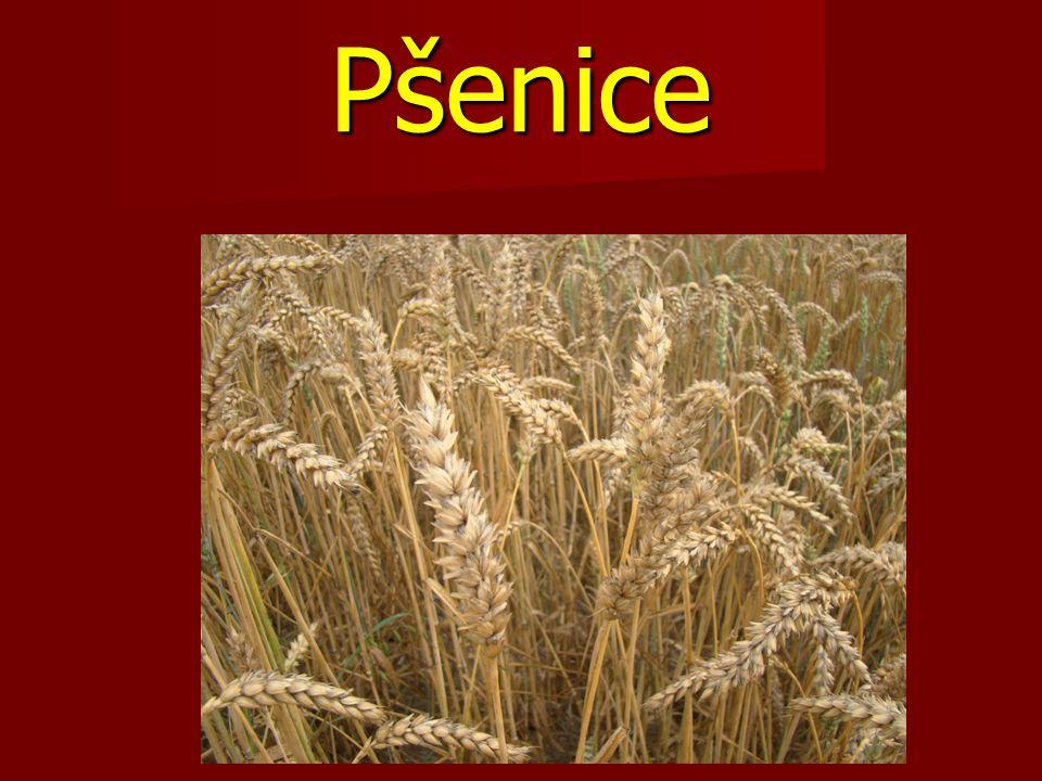 Pšenice