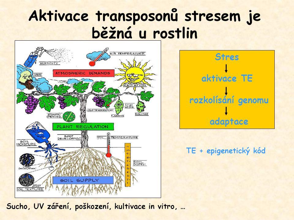 Aktivace transposonů stresem je běžná u rostlin Sucho, UV záření, poškození, kultivace in vitro, … TE + epigenetický kód Stres aktivace TE rozkolísání