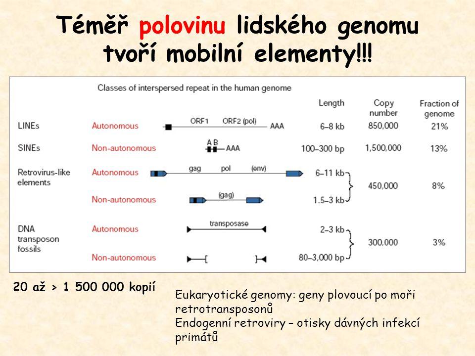Téměř polovinu lidského genomu tvoří mobilní elementy!!! 20 až > 1 500 000 kopií Eukaryotické genomy: geny plovoucí po moři retrotransposonů Endogenní