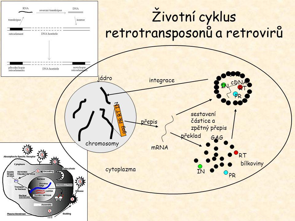 """Obranné mechanizmy hostitele: - Metylace - RNA interference EXPERIMENT: Umlčování transposonů metylací a reaktivace jejich aktivity u mutanta se sníženou metylací DNA: Aktivní retrotransposon Tto1 vnesen z tabáku do Arabidopsis Zvýšení počtu kopií a následná metylace a umlčení Vnesení Tto1 do ddm1 mutanta Snížení metylace Tto1 a transkripční a transpoziční aktivita Mechanizmy transposonu minimalizující jejich vliv na hostitele: - včleňování do heterochromatinu - odstraňování elementů rekombinací Negativní vliv transposonů na hostitele: - vyplývá z povahy RE (sobecká a parazitická DNA) - choroby - mutabilita – stochastické ale regulované """"mutageny hypotézy: parazité x významný činitel v evoluci Transposony: Parazité nebo pomocníci."""