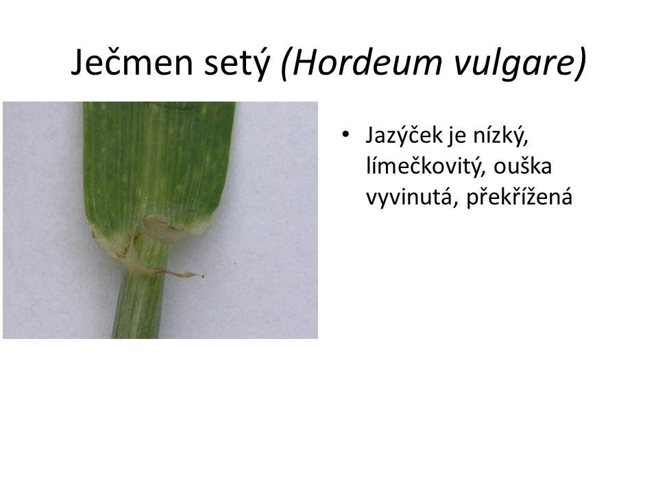 Ječmen setý (Hordeum vulgare) Jazýček je nízký, límečkovitý, ouška vyvinutá, překřížená