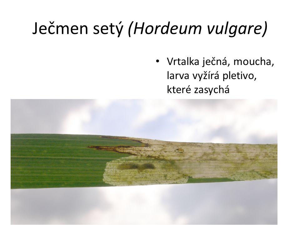 Ječmen setý (Hordeum vulgare) Vrtalka ječná, moucha, larva vyžírá pletivo, které zasychá