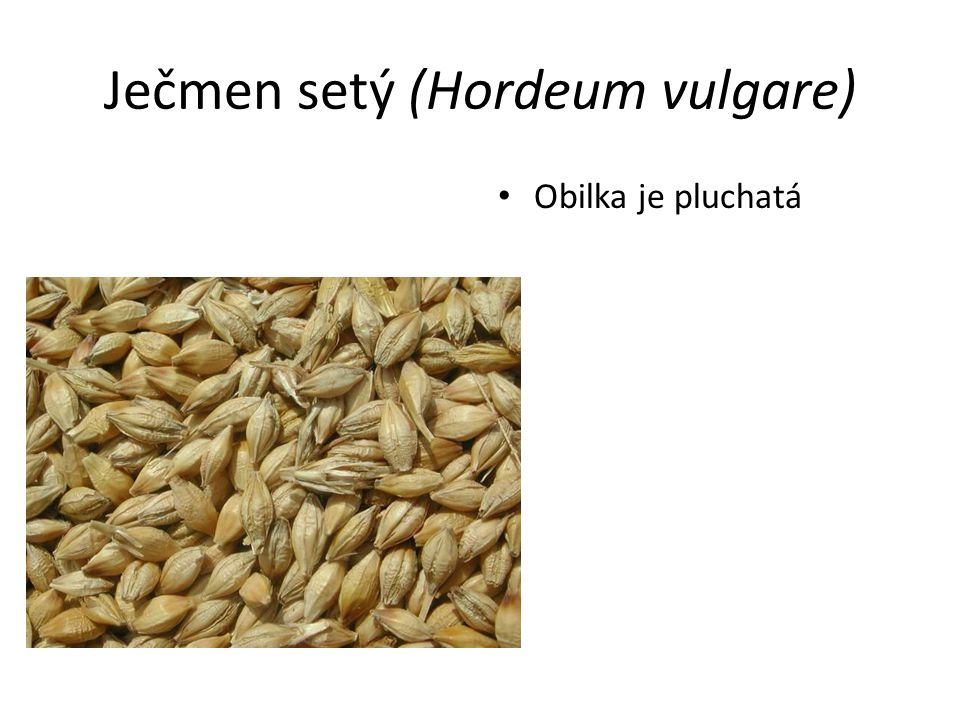 Ječmen setý (Hordeum vulgare) Obilka je pluchatá