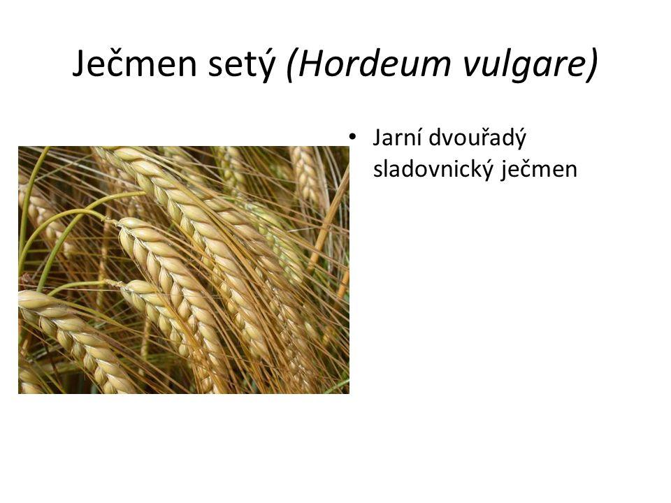 Ječmen setý (Hordeum vulgare) Jarní dvouřadý sladovnický ječmen
