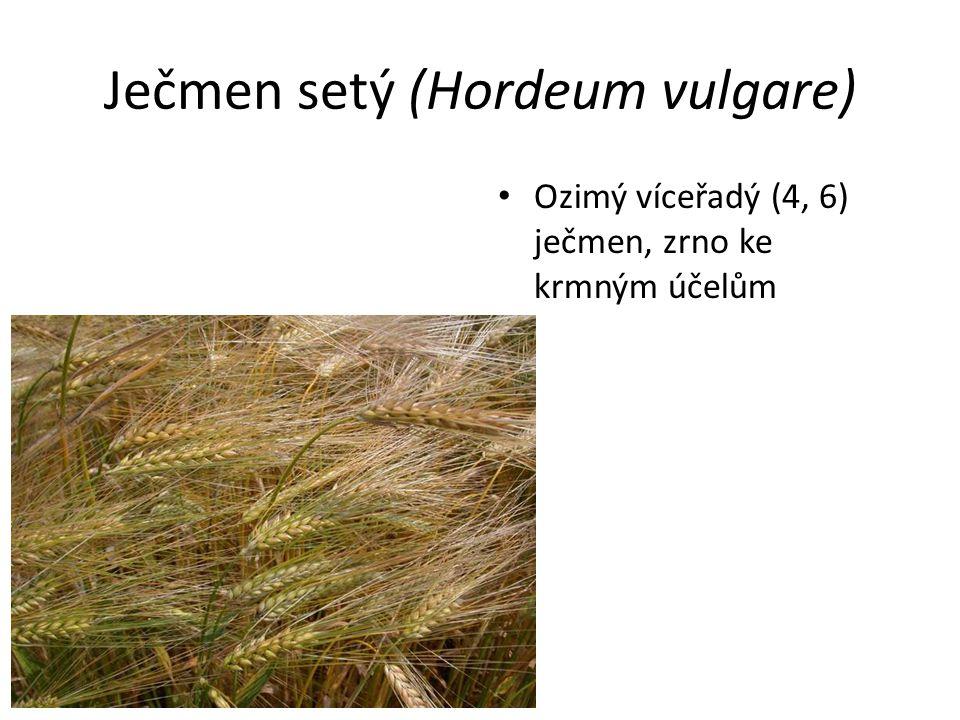 Ječmen setý (Hordeum vulgare) Ozimý víceřadý (4, 6) ječmen, zrno ke krmným účelům