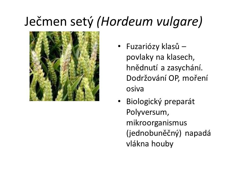 Ječmen setý (Hordeum vulgare) Fuzariózy klasů – povlaky na klasech, hnědnutí a zasychání. Dodržování OP, moření osiva Biologický preparát Polyversum,