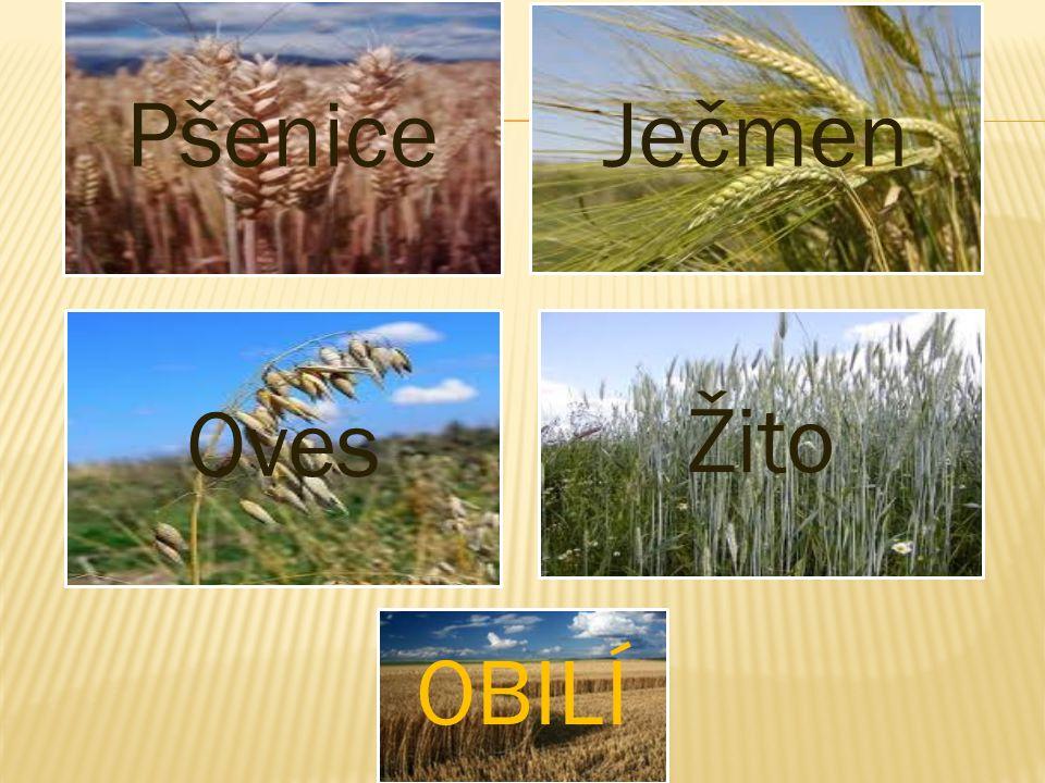 Pšenice Ječmen Oves Žito OBILÍ