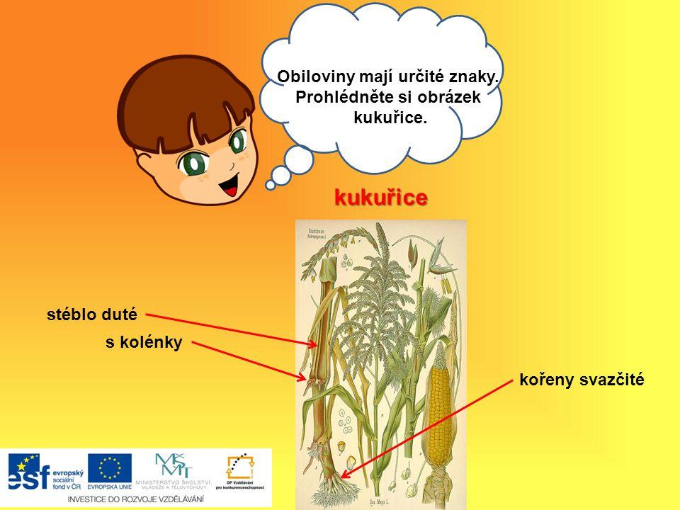 Ahoj, Obiloviny mají určité znaky.Prohlédněte si obrázek kukuřice.
