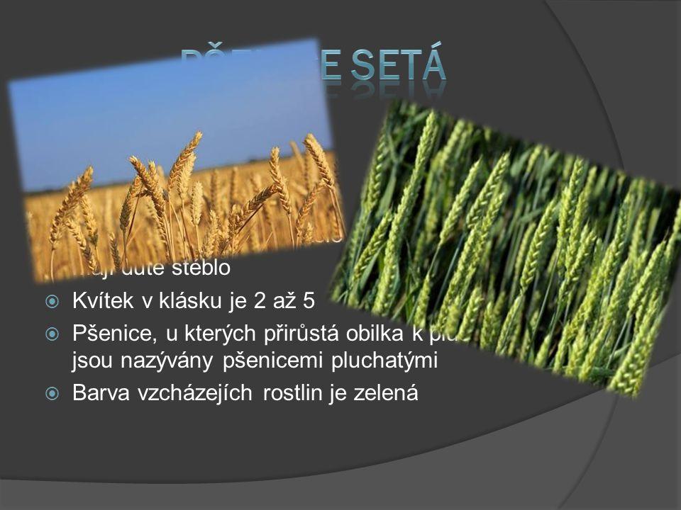  Je jednoděložní rostlina  Má přibližně 20 druhů  Jedna z nejstarších rostlin  Pochází z jihozápadní Asie  mají duté stéblo  Kvítek v klásku je 2 až 5  Pšenice, u kterých přirůstá obilka k pluše a plušce, jsou nazývány pšenicemi pluchatými  Barva vzcházejích rostlin je zelená