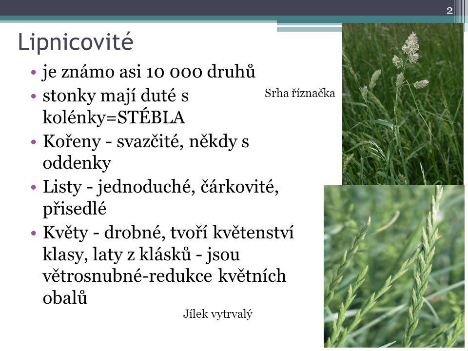 Lipnicovité je známo asi 10 000 druhů stonky mají duté s kolénky=STÉBLA Kořeny - svazčité, někdy s oddenky Listy - jednoduché, čárkovité, přisedlé Květy - drobné, tvoří květenství klasy, laty z klásků - jsou větrosnubné-redukce květních obalů 2 Srha říznačka Jílek vytrvalý