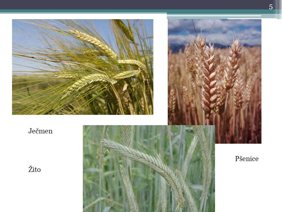 5 Ječmen Žito Pšenice