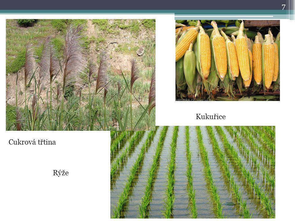 7 Cukrová třtina Rýže Kukuřice