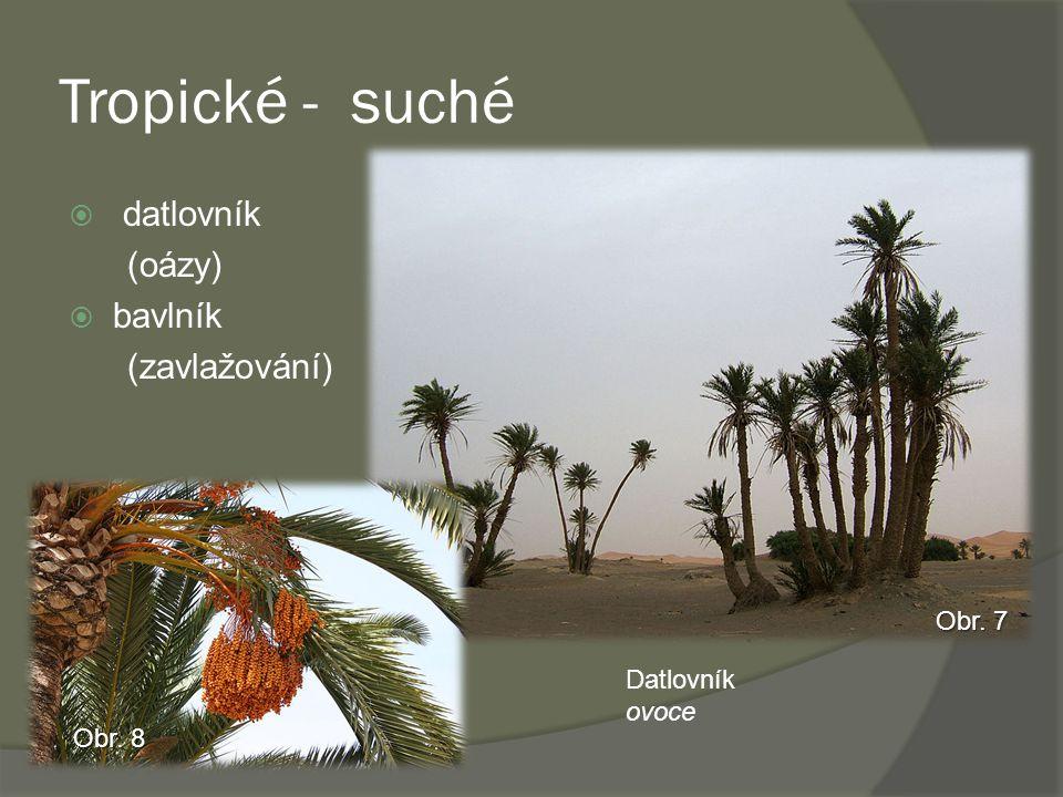Tropické - suché  datlovník (oázy)  bavlník (zavlažování) Datlovník ovoce Obr. 7 Obr. 8