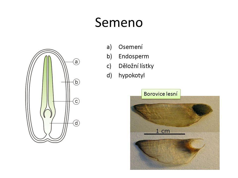 Semeno a)Osemení b)Endosperm c)Děložní lístky d)hypokotyl Borovice lesní
